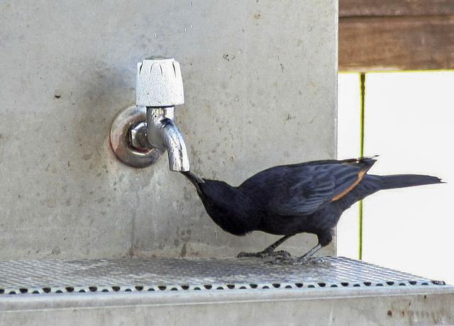 Clever: Ein Tristram Star trinkt aus einem Wasserhahn / A Tristram's Starling drinking from a water-tap