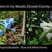 Virginia Bluebells - Blue and White Forms