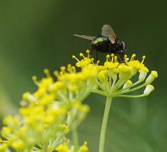 mouche à vers sur fleurs d'anis