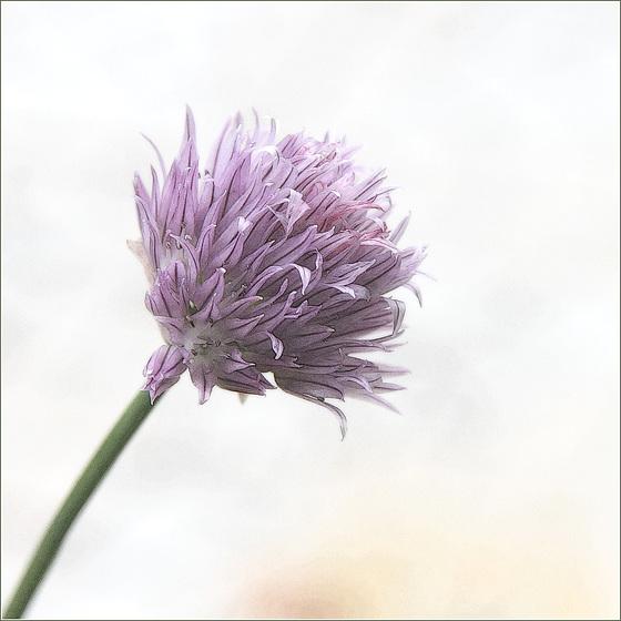 Fleur de fine-herbe