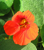 Nasturtium by My Lovely Wife (Explored)