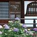 Hydrangea in a temple precinct