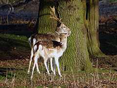Deer at Attingham