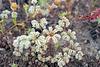 Chaetonychia cymosa, Caryophyllales