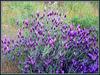 Iberian* Lavender - best viewed large. Spring revisited no 8.