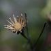Hieracium umbellatum, Canada
