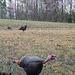 Three Tom Turkeys