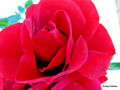 Red, Red Rose.