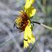 Gaillardia aristata, Canada  DSC4873