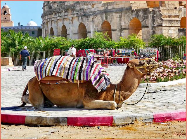 El Djem : Anche 1700 anni fa qui l'unico mezzo di trasporto individuale era : il dromedario