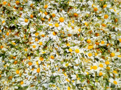 Find my Ipernity nickname among the daisies (Contest without prize:)