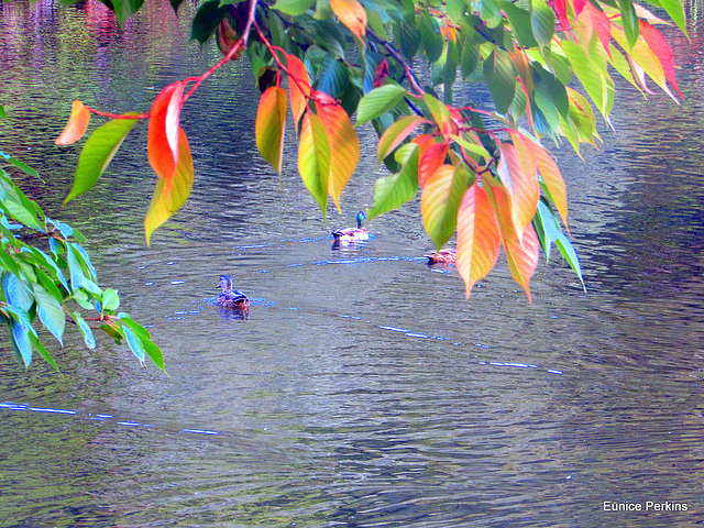 Ducks Enjoying The Water.
