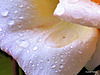 Wet Rose Petal