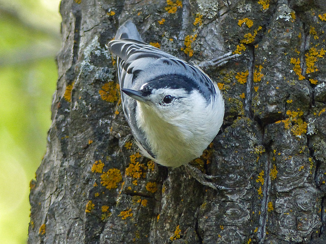 Typical pose of a White-breasted Nuthatch