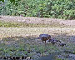 Turkeys - A Hen, Five Young, and a Tom