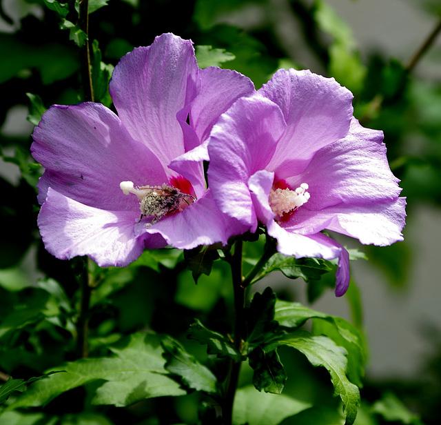 abeille dans les fleurs de l'hibiscus