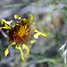 Gaillardia aristata, Canada  DSC4868