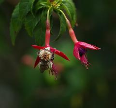 abeille dans le fuhshia après avoir visité les fleurs de l'hibiscus