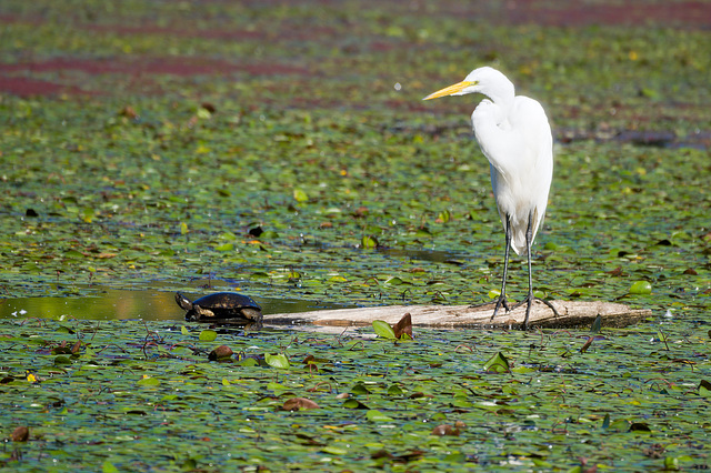 Turtle and egret share a log