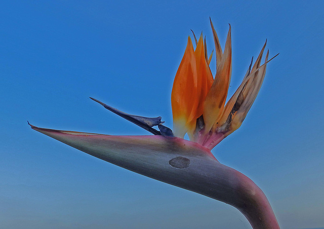 The Bird of Paradise flower..Emblem of Madeira.