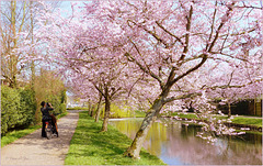 It's not only Me who love the blossoming Cherry trees...
