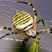 .......eine Wespenspinne wartet auf ihre Beute........