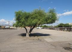 A palo verde in a parking lot.