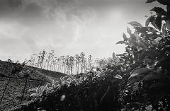 Hidden in the tea shrubs