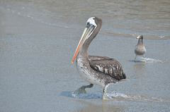 Lima, Playa Agua Dulce, Walking Pelican