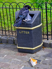 England 2016 – Tower – Raven going through the bin