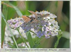A pair of Brown Argus butterflies on a Achillea Millefolium - Birling Gap - 10 8 2021