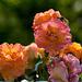 20140801 4442VRAw [D~E] Rose, Gruga-Park, Essen