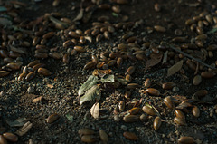 Ground covered with acorns