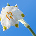 Spring Snowflake (2)