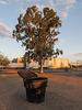Typical trashcan and typical red gum on a typical evening in Tucson.