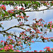 Silk tree blossom