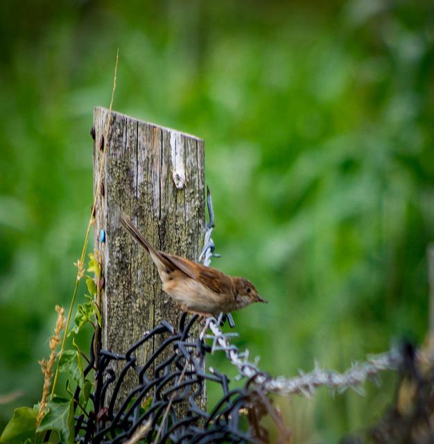 A warbler I think )