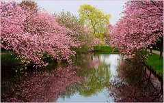 Flowering Cherry Trees in Reflection...