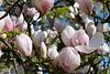 du magnolia pour cette semaine