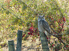 Great Horned Owl on a fence post