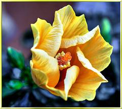 Hibiscus unfolds.  ©UdoSm
