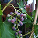 Traube - grape 4