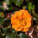 20140801 4443VRAw [D~E] Rose, Gruga-Park, Essen