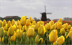 Yes!!! Yellow Tulips in The Netherlands...