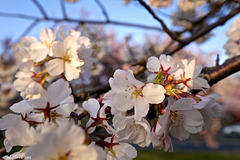 Los Cerezos en flor. !!!!!!!!!!!!!!!!!!!!!!!!!!!!!!!!!!!!!!!!!!!!Cherry trees in full bloom....and I think to myself what a !!WONDERFUL WORLD!!!