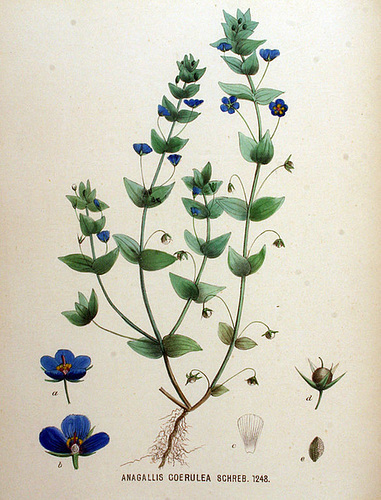 Anagallis coerulea-Flora Batava