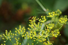 guêpe solitaire dans les fleurs du pied d'anis