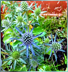 Blaue Edeldistel... ©UdoSm