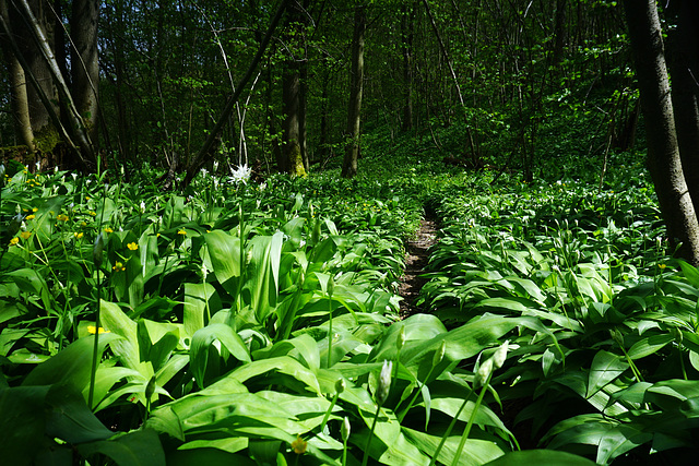 Auf dem Bärlauchpfad - On the Wood Garlic Trail - Le chemin de l'ail sauvage - please enlarge!