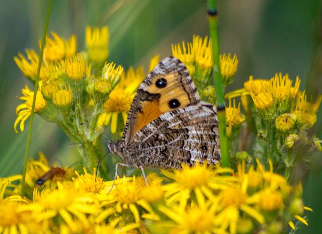 Grayling butterfly2